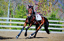 If desired, our staff is able to exercise the mares in the Pessoa Training System 1-2 time per day.